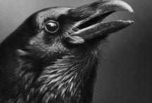 Птицы: Вороны