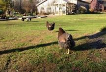 Raising Chickens organically