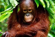 Orangutan's / by Rosie Squire