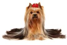 Fotos de Razas de Perros / Imagenes de todas las razas de perros de la Biblioteca de Razas www.Petclic.es/las-mascotas