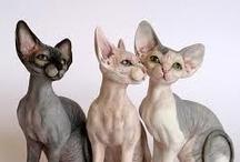 Fotos de Razas de gatos / Imagenes de todas las razas de gatos de la Biblioteca de Razas www.Petclic.es/las-mascotas