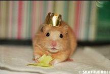 Chomiki/Hamsters / Chomiki... każdy kocha je na swój sposób! Zobacz zdjęcia przecudownych zwierzątek :)  Bo chomiki to NASZA pasja!/Hamsters ... everyone loves it in their own way ! See photos beautiful animals :) Because hamsters are OUR passion !