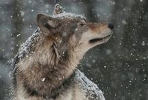 Wolves / The battle between two 'wolves' inside us all...One is Evil ~ It is anger, envy, jealousy, sorrow, regret, greed, arrogance, self-pity, guilt, resentment, inferiority, lies, false pride, superiority, and ego.  The other is good ~ It is joy, peace, love, hope, serenity, humility, kindness, benevolence, empathy, generosity, truth, compassion and faith.'  'Which wolf wins?'  ....... 'The one you feed.'