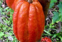 Theobroma CACAO / The amazing Cacao - chocolate starts here!