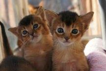 Abyssinian & Somali cats