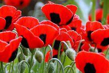 Poppies / My favorite