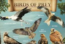 Birds of prey / Owls, Eagles and others raptors