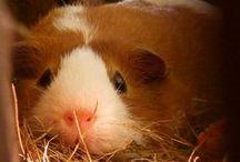 Happy Piggies / English: Are you sad? And a piggie lover? Look at these pictures! They are just sooo cute! Dutch/NL: Ben je verdrietig? En je houdt heel erg van cavia's? Kijk naar deze foto's! Ze zijn gewoon zooo schattig!