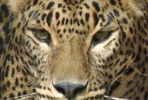 wild cat/face