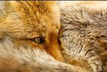 red fox /face