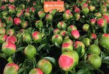 Paeonia passion / Onze passie voor pioenen! Our passion for peonies!