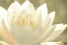 Lotus, Sakura, Peony and more