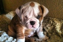 Bulldog Pictures / These Bulldog pictures are doggone cute. There's not much more needing to be said about them except Bow-WOW! / by Dog Names and More