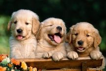 Golden Retriever Pictures / We've always loved looking at Golden Retriever pictures and thought we'd share some of our favorites here. / by Dog Names and More