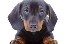 Dachshunds / Dachshunds have been described as a dog that's a dog and a half long...and a half a dog tall. We describe them as awesome! / by Dog Names and More