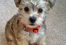 Miniature Schnauzers / Miniature Schnauzer is a German moniker. Schnauze comes from the German word for muzzle or beard. Whether or not it does, what we like is their spunky family friendly attitude...beard or not.