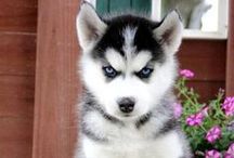 Siberian Huskies / Siberian Huskies are well known for 3 things...1. Their beauty 2. Their beautiful eyes 3. Their shedding. We're sure there's other things owners can think of, we just know we like them!