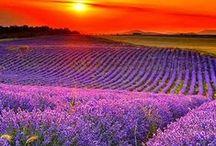 Lavender / Lavender