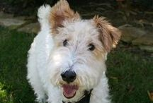 Wire haired foxterriers / Wire haired foxterriers