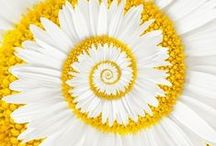 Daisies - my love