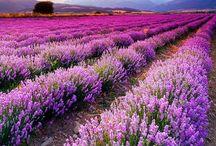 All About Lavender (Csak levendula!)