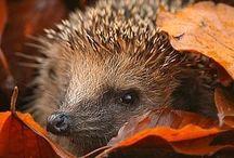 Hedgehogs (sünik)