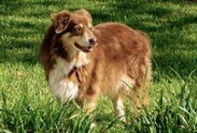 Australian Shepherd Pooch Power / Man's best friend  / by Marilyn Silva