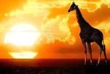 Plains of Africa / Sunsets, sunrises and everything in between! This board represents the breathtaking views that have made the beauty of the plains of Africa known world wide. / by Intimate Places Tanzania