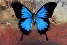 Sommerfugle, butterfly. / I det gamle Grækenland var sommerfuglen den sjælen fløj bort i, når man døde.