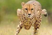"""Wildkatzen Artenschutz / Wildkatzen Artenschutz setzt sich gegen das Artensterben und die Vernichtung von Lebensräumen ein. Dabei besteht unser Auftrag in der intensiven Aufklärungsarbeit, der Förderung von Projekte anderer Organisationen.   Wildkatzen Artenschutz arbeitet nach dem Motto """"Ein Herz für Wildkatzen"""" Als Onlineplattform bieten wir zum Erfahrungsaustausch, Vernetzungen und Kontakten für die vertrauensvolle Zusammenarbeit mit anderen Organisationen. Unser Ziel ist ein gut ausgebautes Netzwerk."""