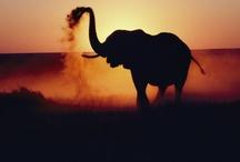 Tiere in Afrika / Hier findet man eine Auswahl, afrikanischer Tiere
