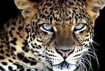Leopard / Der Leopard ist eine Art innerhalb der Familie der Katzen, die in Afrika und Asien verbreitet ist. Darüber hinaus kommt sie auch im Kaukasus und somit am äußersten Rande Europas vor.  Rang: Art Höhere Klassifizierung: Eigentliche Großkatzen Niedrigere Klassifizierungen: Sri-Lanka-Leopard,