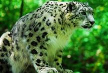 Schneeleopard / Der Schneeleopard oder Irbis ist eine Großkatze der zentralasiatischen Hochgebirge. Man findet ihn vom Himalaya Nepals und Indiens im Süden bis zum Altai- und Sajangebirge Russlands im Norden, sowie ...   Rang: Art Höhere Klassifizierung: Uncia