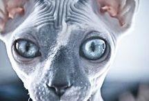 Katten / Sfynx en Devon Rex / Prachtige katten