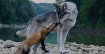 Lupi e Volpi