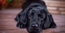Black Labradors / Black Labradors | Learn all about training and care for your Labrador Dog at http://www.LabradorTrainingHQ.com