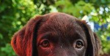 Chocolate Labrador Dogs / Chocolate Labrador Dogs | Learn all about training and care for your Labrador Dog at http://www.LabradorTrainingHQ.com