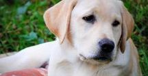 Yellow Labrador Dogs / Yellow Labradors | Learn all about training and care for your Labrador Dog at http://www.LabradorTrainingHQ.com