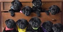 Labrador Puppies / Labrador Puppies | Learn all about training and care for your Labrador Dog at http://www.LabradorTrainingHQ.com