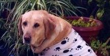 Dog Outfits / Dog Outfits | Learn all about training and care for your Labrador Dog at http://www.LabradorTrainingHQ.com