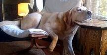 Big Dogs / Big Dogs | Learn all about training and care for your Labrador Dog at http://www.LabradorTrainingHQ.com