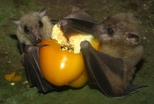Bats / I just love these fascinating creatures and having now had the opportunity to photograph them via the Devon Bat Group I am now even more hooked :0)