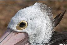 Pelicans / Pelican Portraits