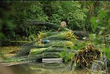 Rush Harvest / Rush harvesting on the river Nene in Northamptonshire.