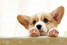 CORGI / My future dog / by April