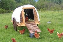 [In my chicken raising dreams]