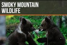 Smoky Mountain Wildlife / Do you like viewing the wildlife in the Great Smoky Mountains National Park? If you're anything like us, you absolutely love spending time looks at the wildlife.