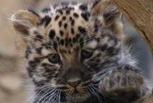 Les chats plus sauvages / Félins sauvages. Ils ressemblent à de gros chats et restent fascinants même si ils restent inapprochables pour la majorité d'entre nous.