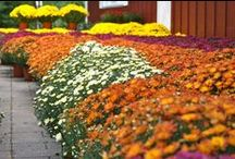 Mums the word... / Our seasonal selection of Mums