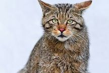 HIGHLAND TIGER - SCOTTISH WILDCAT / Let's look at these photos. Are we generous power to let them live forever? Help the Scottish Wildcats!  They have all rights for living with us.